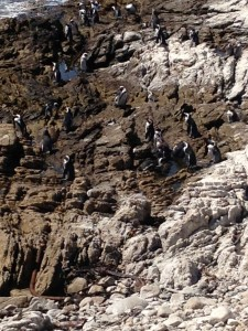 Penguins near Hermanud