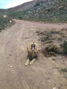 Dan Oakley Lion
